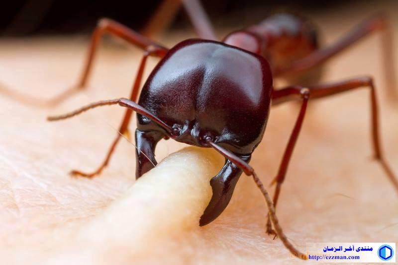 صورة لعضة النمل الأحمر